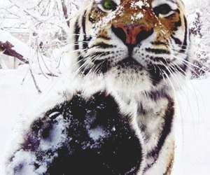 snow, tiger, and winter image