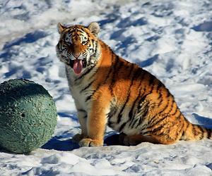 animal, cub, and snow image