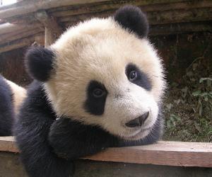 cute, panda, and animal image