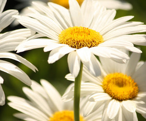 daisy, flowers, and garden image