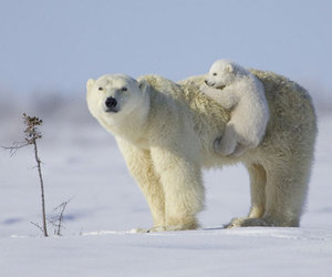 animal, bear, and Polar Bear image
