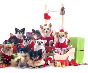 baby animals, chihuahua, and christmas image