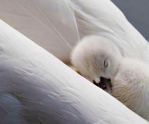 Swan, animal, and baby image