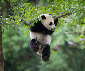 panda, animals, and baby image