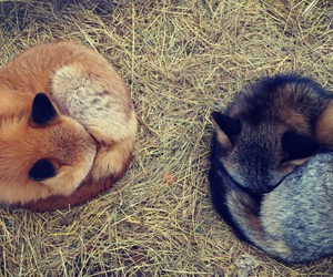 animal, sleeping, and fox image