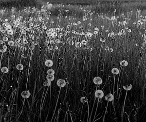 black and white, photography, and dandelions image