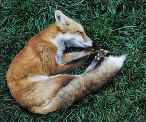 fire, fox, and nature image