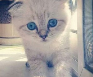 animal, blue, and kitten image