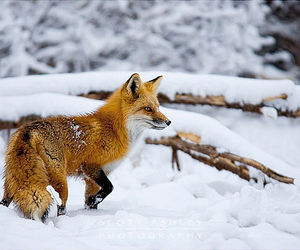 cold, snow, and fox image