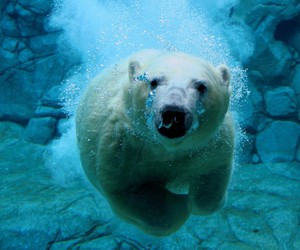 Polar Bear and underwater image