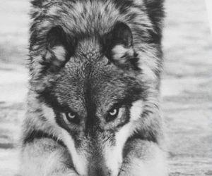 wolf, animal, and eyes image