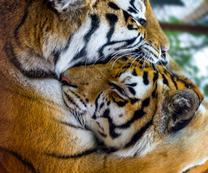 animal, tiger, and love image