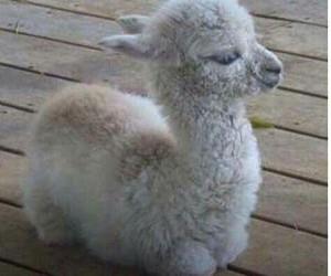 cute, animal, and llama image