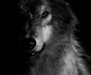 wolf, animal, and black image