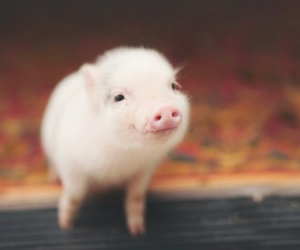 pig, love, and adorable image