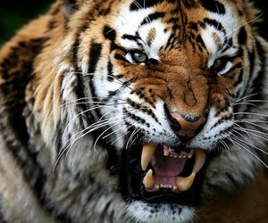 tiger, beautiful, and photography image