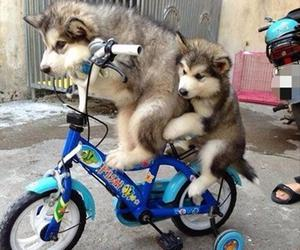 dog, cycling, and husky image