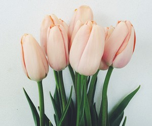 flowers, pale pink, and tulip image