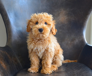 puppy and labradoodle image