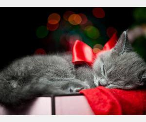 cat, grey, and christmas image