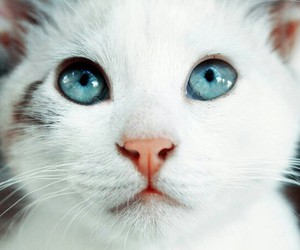 blue eyes, cat, and kitty image