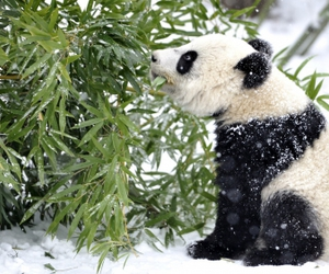 panda, snow, and winter image