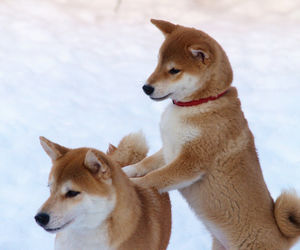 dog, animal, and shiba image