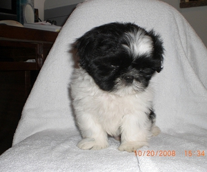 dogs, puppies, and shih-tzu image