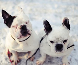 french bulldog, snow, and white image