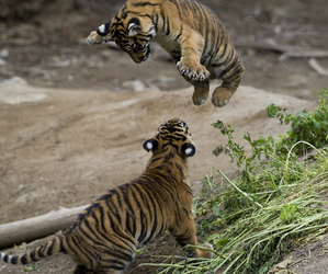 animals, cub, and cubs image
