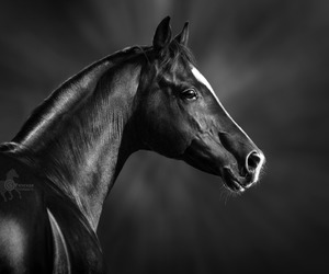 black, black and white, and horse image