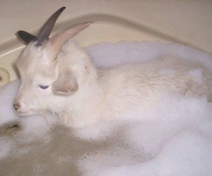 goat, animal, and bath image
