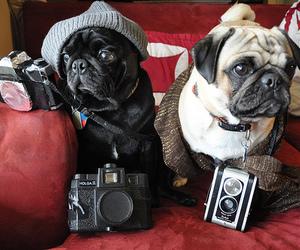 pug, dog, and camera image