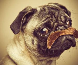 dog, pug, and moustache image