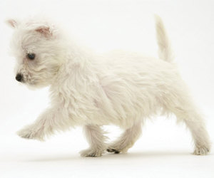 westie and cute image
