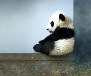 panda, animal, and baby image