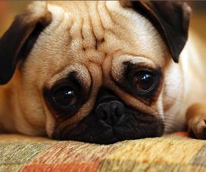 cute, dog, and pug image