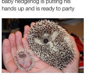 funny, hedgehog, and tumblr image