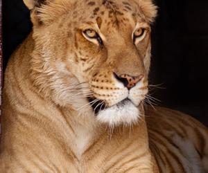 liger, lion, and tiger image