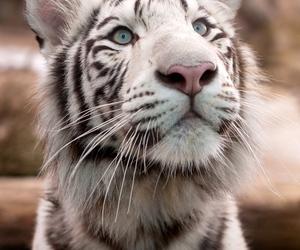 animal, tiger, and white tiger image