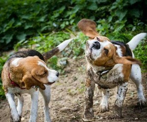 animals, beagles, and dirty image
