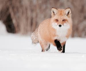 animal, snow, and renard image