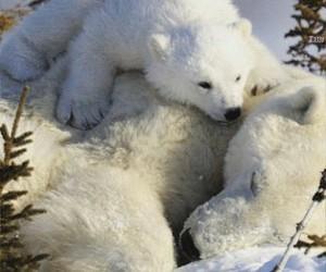 animal, polar bears, and snow image