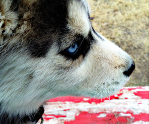 dog, fierce, and husky image