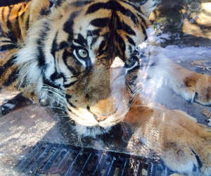 tiger, tiger head, and zoo image