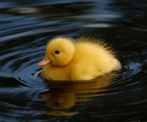 duck, duckling, and animal image