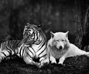 wolf and tiger image
