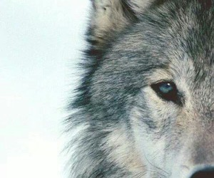 strong, wolf, and freedom image