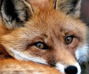 animal, eyes, and fox image