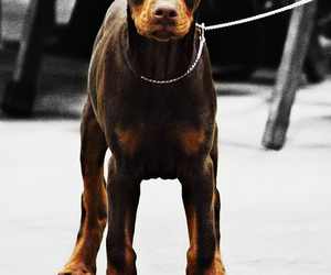 dog, doberman, and pet image